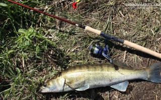 Ловля судака весной на спиннинг