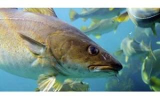 Тресковые виды рыб