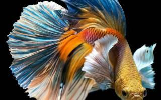 Болезни петушков рыб