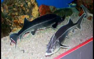 Осетр в аквариуме