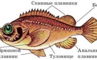 Строение рыбы внутреннее