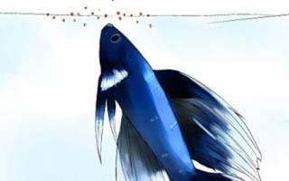 Чем кормить рыбку петушка если нет корма