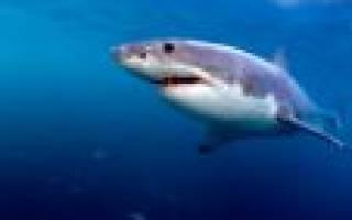Акулы где водятся