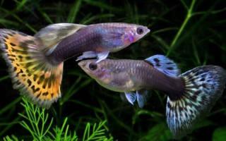Температура воды в аквариуме для гуппи