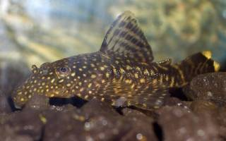 Чем кормить аквариумных сомиков