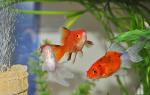 Как кормить золотых рыбок в аквариуме