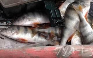 Ловля окуня с лодки