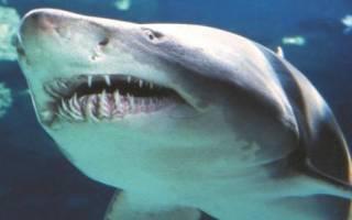 Сколько рядов зубов у акулы