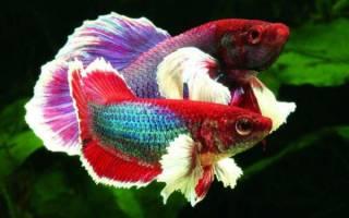 Петушок рыбка сколько живет