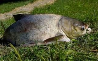 На что ловить толстолобика в августе