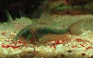Аквариумные донные рыбки