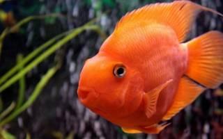 Аквариумная рыбка попугайчик