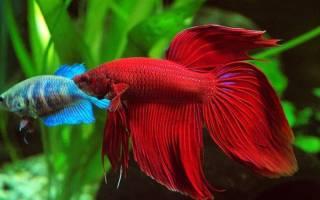 Рыбка петушок содержание и уход