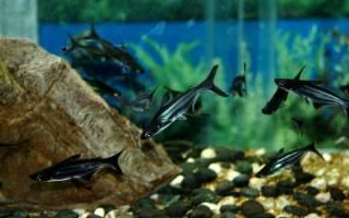 Аквариумная рыбка акула