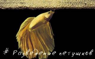 Петушок рыбка размножение