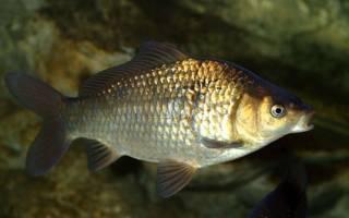Растения для аквариума с золотыми рыбками