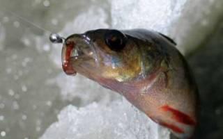 Зимняя рыбалка на окуня на мормышку как улучшить клев