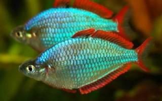 Аквариумная рыбка радужница