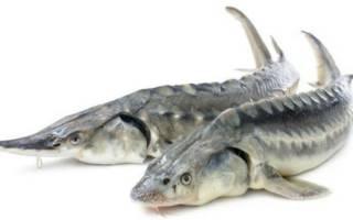Осетровые виды рыб
