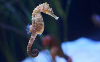 Чем питается морской конек