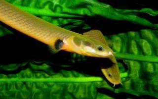 Рыба змея в аквариуме