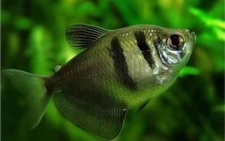 Тернеция аквариумная рыбка
