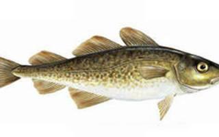 Что такое белая рыба